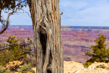 Arizona Grand Canyon Juniper Tree Trunk Texture