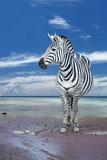 Fototapeta Zebra - A zebra