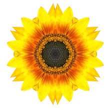 Yellow Concentric Sunflower Fl...