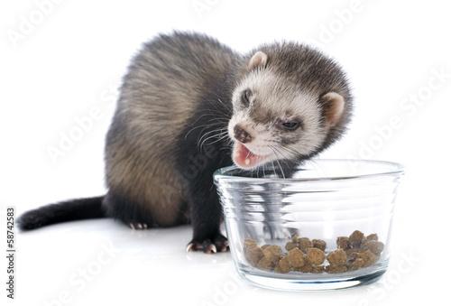 Fotografering  eating brown ferret