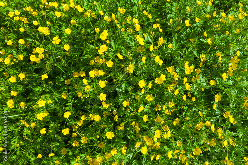 Photo Ranunculus acris (Meadow buttercup, Tall buttercup) yellow flowe