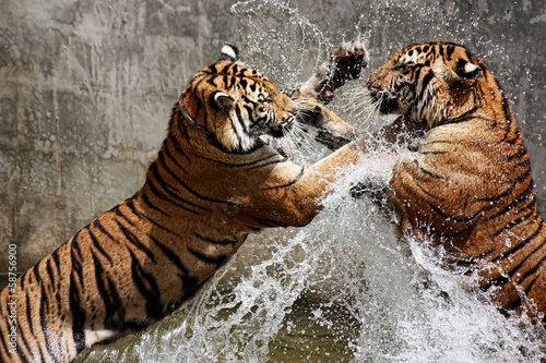 Photo sur Toile Photo du jour Tiger Battle