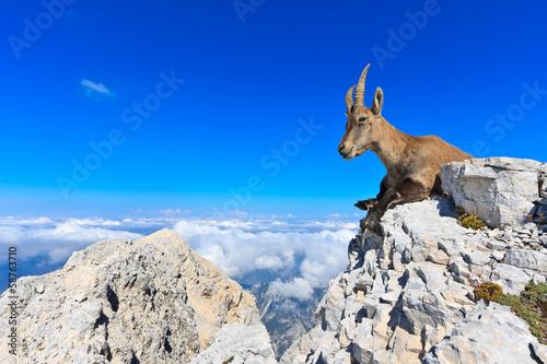 Fotografia  Capricorn female lying on rocks on the Montagio mountain