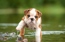 English Bulldog Puppy In The W...