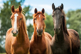 Fototapeta Konie - Group of three young horses on the pasture