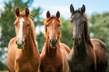 Group Of Three Young Horses On...