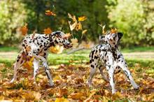 Two Dalmatian Dogs Playing With Leaves In Autumn