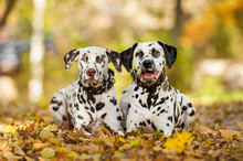 Two Dalmatian Dogs Lying In The Park In Autumn
