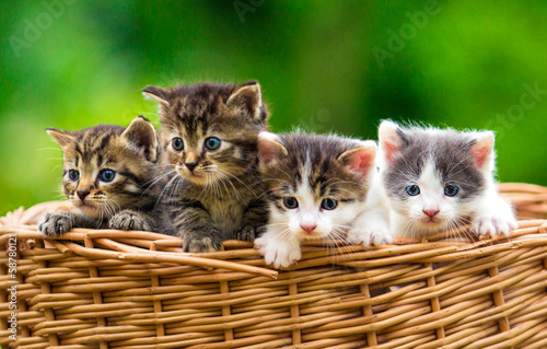 Cuadros en Lienzo Four kittens in the basket