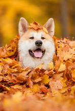 Portrait Of Akita Dog Lying In Leaves