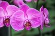 canvas print picture - Orchids