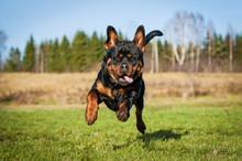 Funny Rottweiler Dog Running