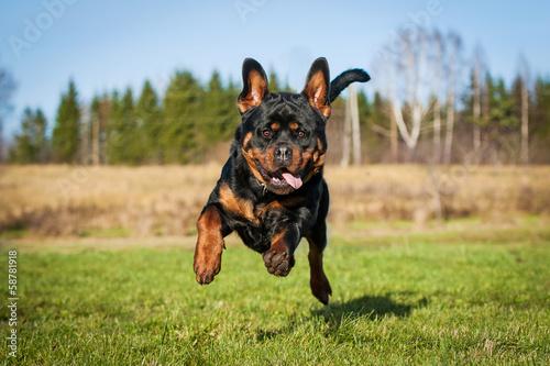 Funny rottweiler dog running Canvas Print
