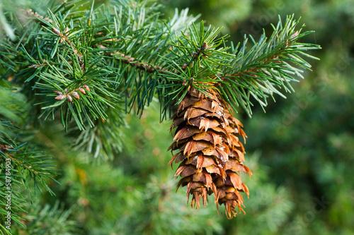 Fotografie, Tablou Douglas fir branch with cones