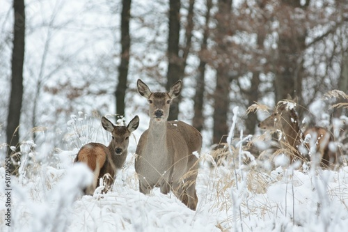 In de dag Ree Roe deer with his offspring in winter scenery
