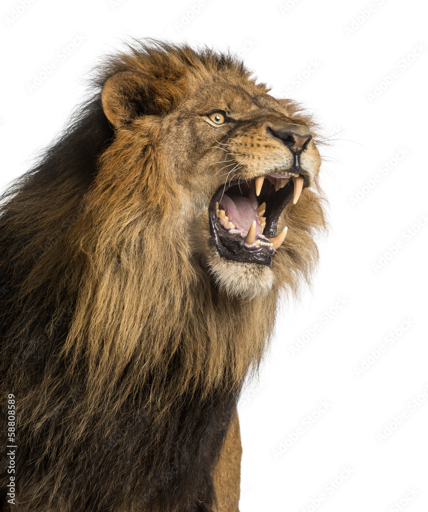 Fototapeta Close-up of a Lion roaring, Panthera Leo, 10 years old, isolated