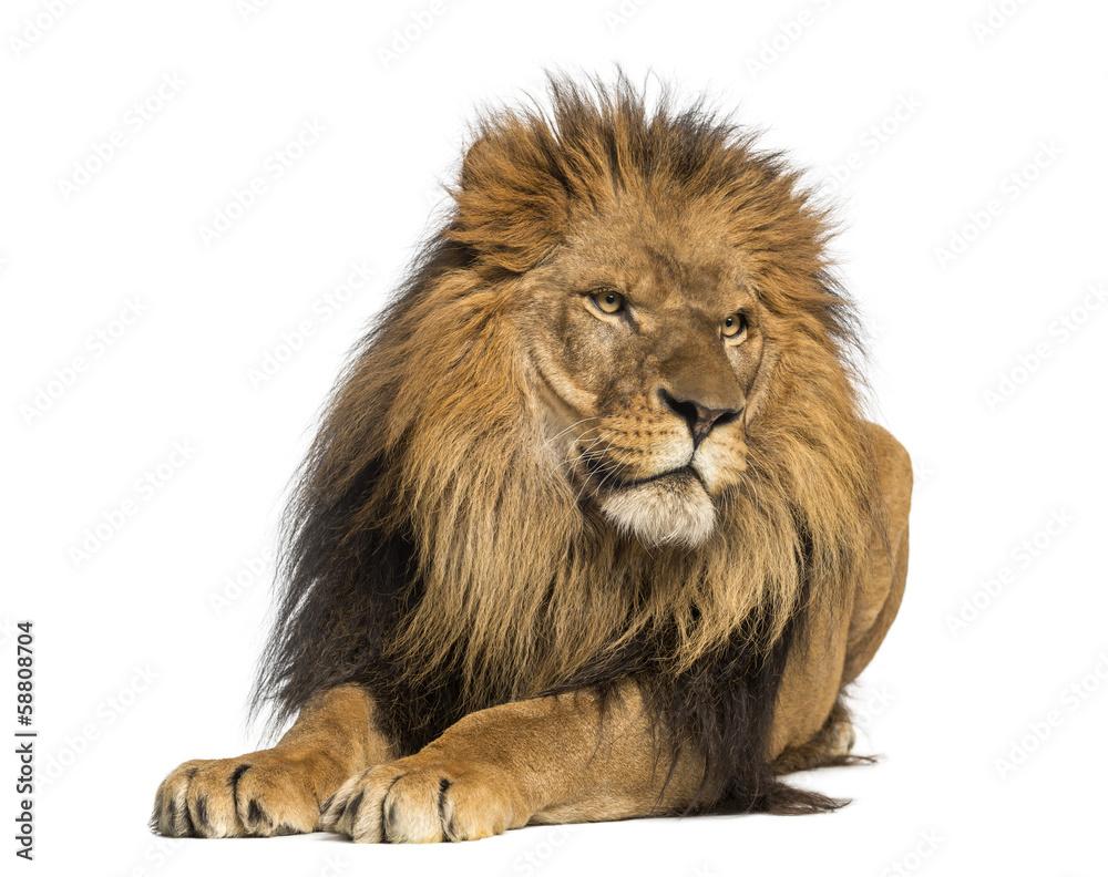 Fototapeta Lion lying down, looking away, Panthera Leo, 10 years old