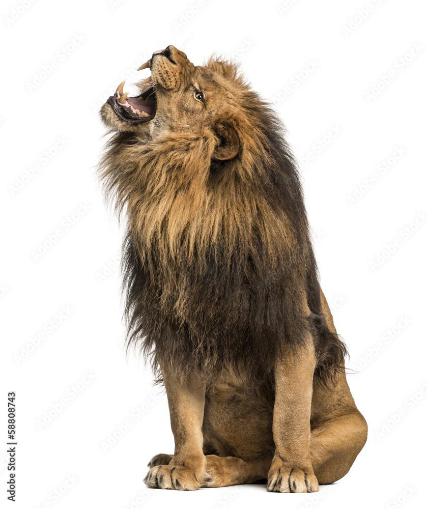 Fototapeta Lion roaring, sitting, Panthera Leo, 10 years old, isolated