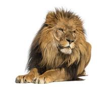 Lion Lying Down, Looking Away,...