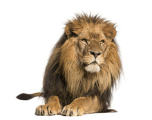 Front View Of A Lion Lying, Panthera Leo, 10 Years Old, Isolated