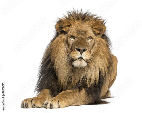 Fotografie, Obraz  Lion lying down, facing, Panthera Leo, 10 years old, isolated