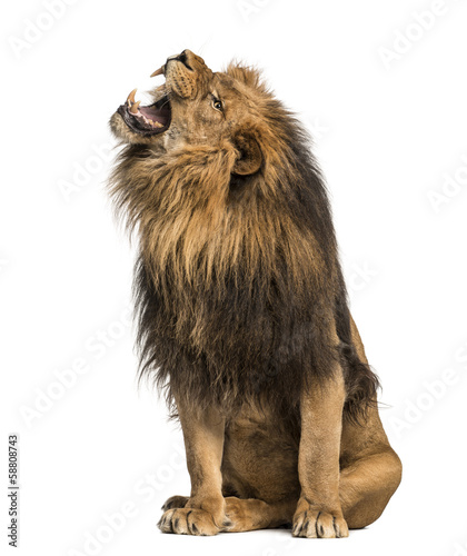 Recess Fitting Lion Lion roaring, sitting, Panthera Leo, 10 years old, isolated