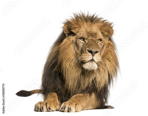 Staande foto Leeuw Front view of a Lion lying, Panthera Leo, 10 years old, isolated