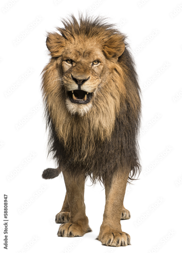 Fototapeta Front view of a Lion roaring, standing, Panthera Leo