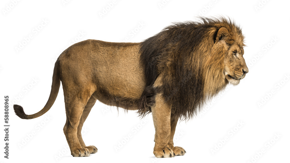 Fototapeta Side view of a Lion standing, Panthera Leo, 10 years old