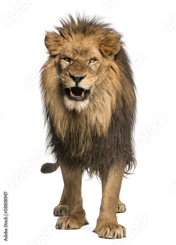 Recess Fitting Lion Front view of a Lion roaring, standing, Panthera Leo
