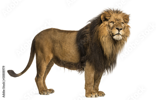 Foto op Plexiglas Leeuw Side view of a Lion standing, Panthera Leo, 10 years old
