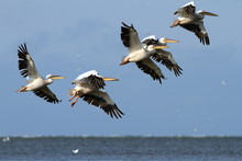 Flock Of Pelicans Flying Over ...
