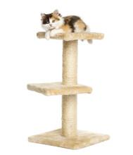 Higland Straight Kitten On Top...