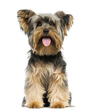 Front View Of A Yorkshire Terrier Sitting, Panting, 9 Months Old