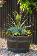 Oak Barrel Planted With Cordyl...