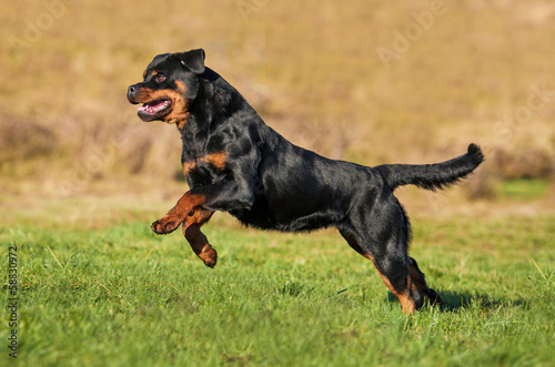 Rottweiler Dog Running Buy This Stock Photo And Explore Similar