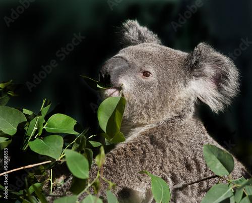 Staande foto Koala australian koala bear