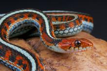 San Fransico Garter Snake / Th...
