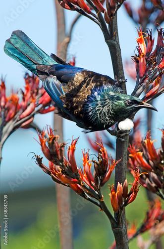 Poster Nouvelle Zélande Tui - Bird of New Zealand