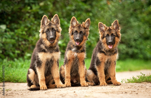 Fototapeta Three german shepherd puppies