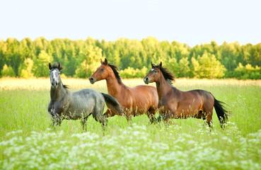 Three horse running trot at flower field in summer