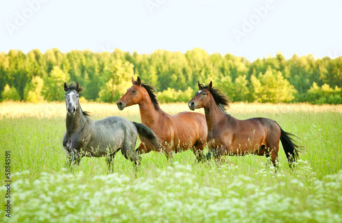 Three horse running trot at flower field in summer