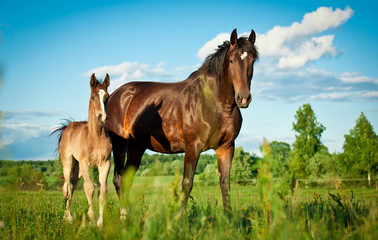 Bay mare with foal standing in summer field