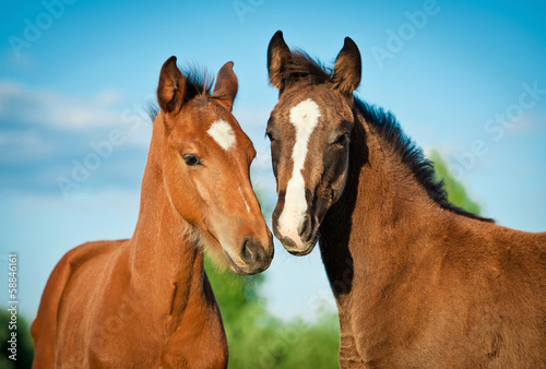Valokuvatapetti Portrait of two foals in summer