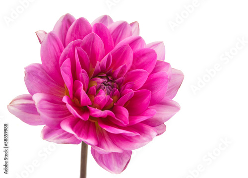 Valokuvatapetti pink dahlia isolated