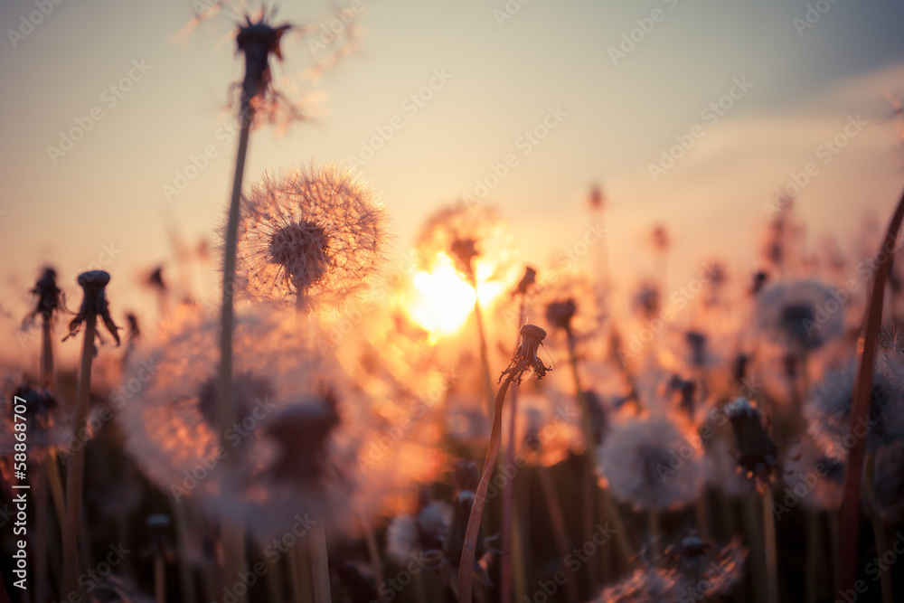 Fototapety, obrazy: Real field and dandelion at sunset