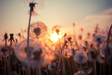 Fototapeta Puff-ball - Real field and dandelion at sunset