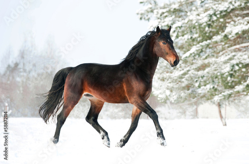 Fotografía  Bay horse running in winter