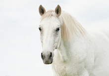 Portrait Of Beautiful White Horse