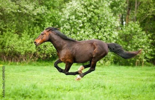 Bay horse running at field in summer Canvas Print